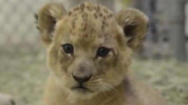 Zoo asks public for help naming ridiculously cute lion cubs
