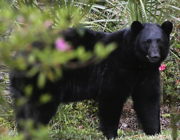 State wildlife biologists have created a web page for the public to report sightings and post photos of black bears and bear tracks.