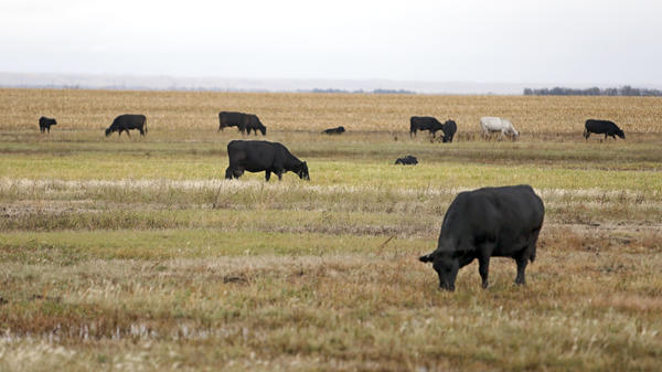 Cattle graze in a pasture near Ferney Thursday. photo by john davis taken 10/17/2013