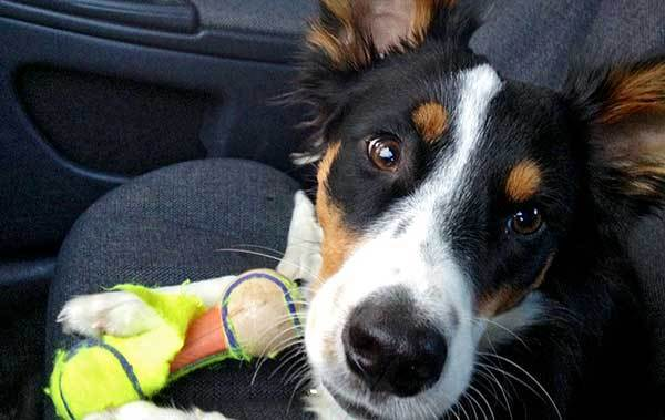 Oscar, a 1 year old Border Collie/Australian Shepherd mix, owned and loved by Katie Malitsch, 26, of Bethlehem