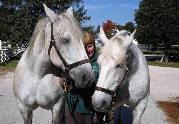 Equestrian assistant Sandy Slazyk leads Percheron draft horses Rosie, left, and June to a mud lot at the Danada Equestrian Center in Wheaton.