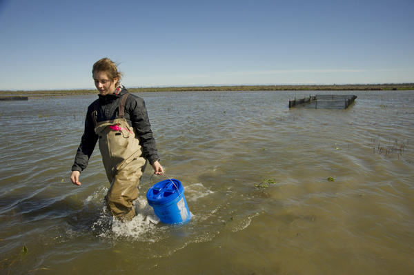 UC Davis undergraduate Emma Cox transfers baby salmon to pens as part of a research project in the Yolo Bypass floodplain in Northern California.