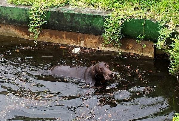 A chocolate Labrador retriever was rescued from a canal in Dania Beach
