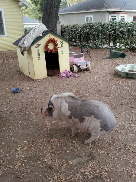 Sierra Madre's beloved pig, Neil, will be allowed to stay in town.