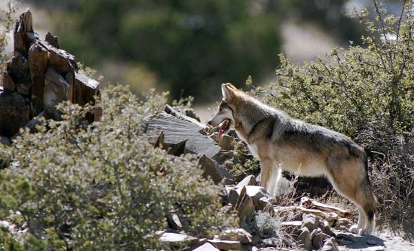 The U.S. Fish and Wildlife Service proposes to extend Endangered Species Act protections for an estimated 75 Mexican wolves in the wild in New Mexico and Arizona.