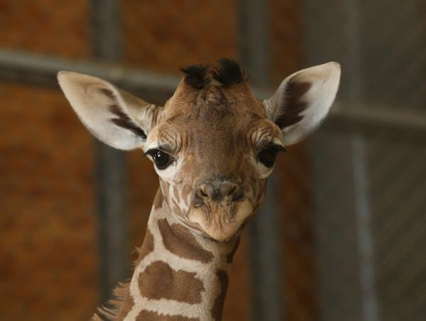 We'll stick our neck out and assume this 11-day old giraffe has no idea he's being used as part of a popular Facebook meme.