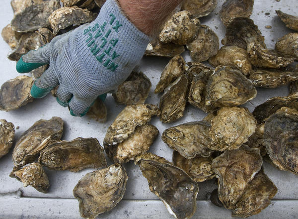 In this file photo, oysters farmed from an oyster bed on the York River.