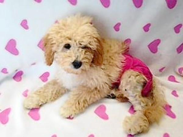 Sugar, a 15-week-old female goldendoodle mix.