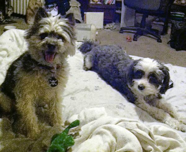 Chewy and Oreo, a 2-year-old Maltese fox terrier mix, and 7-year-old Maltese poodle mix, are owned by Michael and Patricia Reddinger of Allentown.