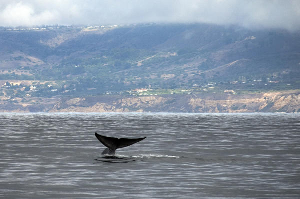 Blue whales are among the ocean predators threatened by human activity off the West Coast, researchers found.