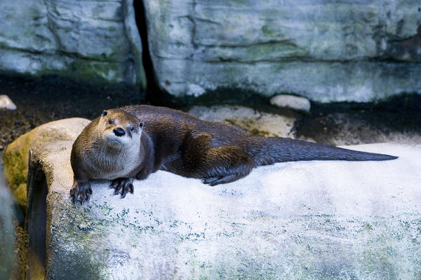 Rio, a North American river otter, photographed in 2006.