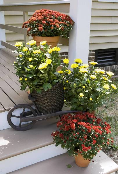 Mums and a wheelbarrow planter add a fall look to front steps.