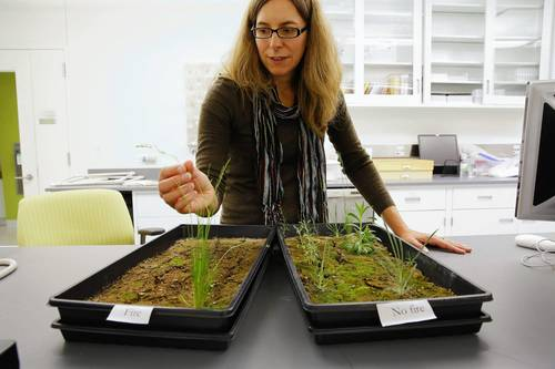 In a lab at the Chicago Botanic Garden, Conservation Scientist Andrea Kramer, Ph.D. shows two flats of Colorado soil showing the relative success of native and non-native seed germination in areas that experienced forest fire, left, and did not, at right.