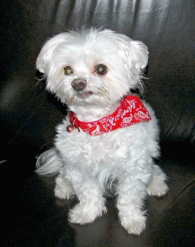 Toby, a 9 year old Maltese, owned and loved by Ann Krippene, of Macungie