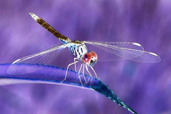 This picture of a Blue Dasher Dragonfly was photographed in Tavares.