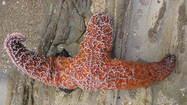 'Wasting' disease turning West Coast starfish to mush; experts stumped