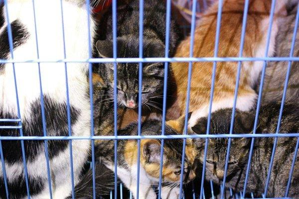 Rescued cats in a cage in Wuxi in east China's Jiangsu province. Animal activists are combing a forest in eastern China for more than 1,000 kittens rescued from a meat supplier only to be let loose by local authorities, an organizer said Monday.