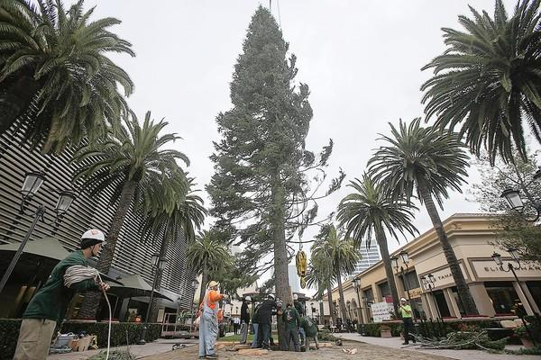 A crew with Victor's Custom Christmas Trees, places a 90-foot white fir at Fashion Island on Monday.