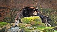 L.A. Zoo celebrates its first birth of okapi, a