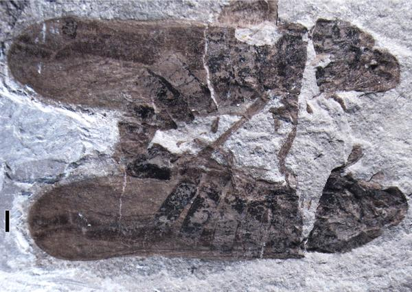 Scientists say this is the oldest known fossil that depicts copulating insects. The 165-million-year-old artifact was discovered in northeastern China and shows two mating froghoppers.