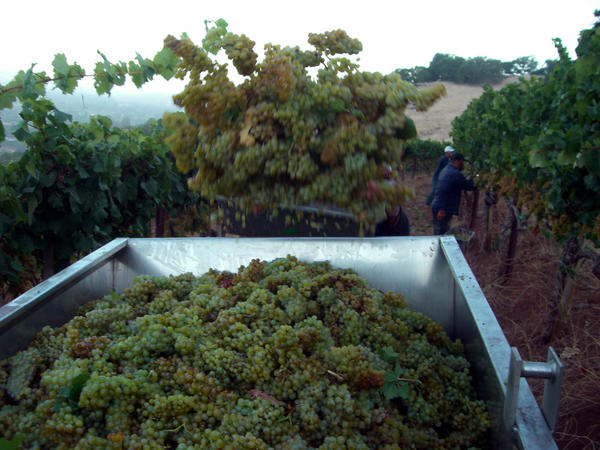 Harvest at Kunde Family Estate in Sonoma Valley.