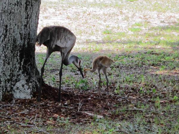 Florida sandhill cranes on UCF's campus