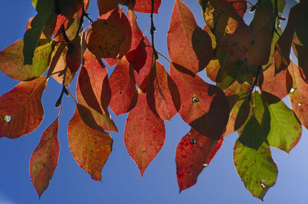 Colorful leaves dangle in the autumn air at Clark's Elioak Farm in Ellicott City.