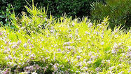 Instead of lippia, try these lawn substitutes