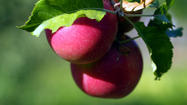 Jonathan Gold quiz: Apples