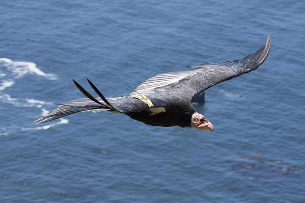 There are a little more than 100 condors living in the wild in California; the deaths of three so far this year are a blow to efforts to save the species.