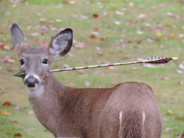 A young male deer in New Jersey stands with an arrow through its head. On Saturday, state wildlife officials removed the arrow while the animal was tranquilized.