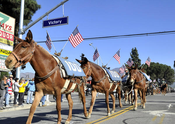 A group of 100 mules walk on Western Avenue, crossing Victory Blvd. in Glendale on Monday, November 11, 2013. 100 mules, starting in Bishop, CA, have walked for the last 25 days along the California Aqueduct to Los Angeles, a trek that ended at the Los Angeles Equestrian Center.