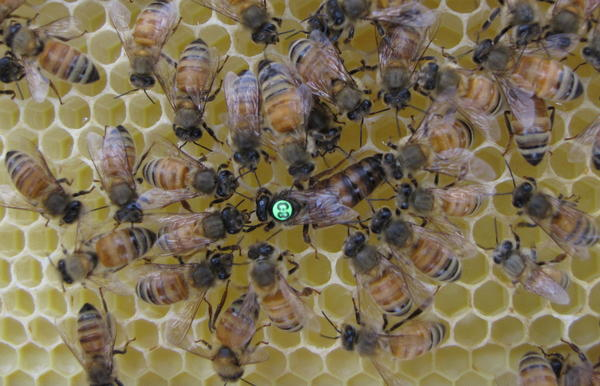 Worker bees around a queen bee