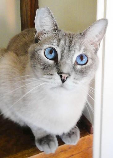 Fairfield, a young Lynx Point Siamese cat.