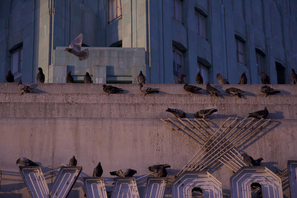 Pigeons in Hollywood.