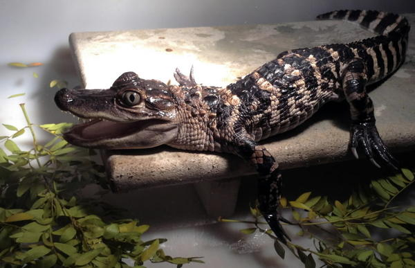 This alligator was found at O'Hare this year.