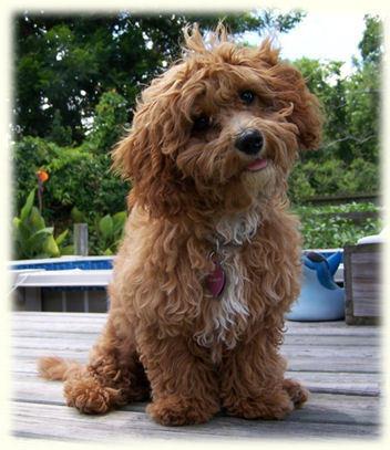 ... bichon frise mix bred with a miniature poodle. ( www.timshellfarm.com