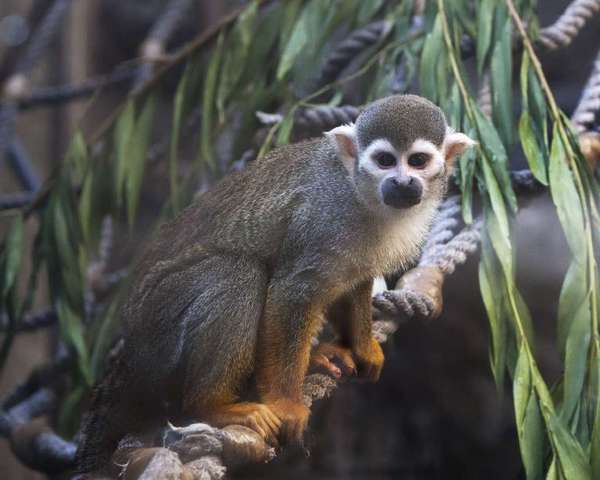 Banana Sam, a squirrel monkey, was abducted from the San Francisco Zoo in 2011 and found two days later.