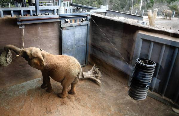 Mila, a 7,600-pound African elephant, plays with a feed bag in a quarantine enclosure at the San Diego Zoo. Mila accidently crushed veterinarian Helen Schofield at a zoo in New Zealand on April 25, 2012. She arrived in San Diego on Nov. 14 and is being r