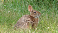 Saving The New England Cottontail Rabbit