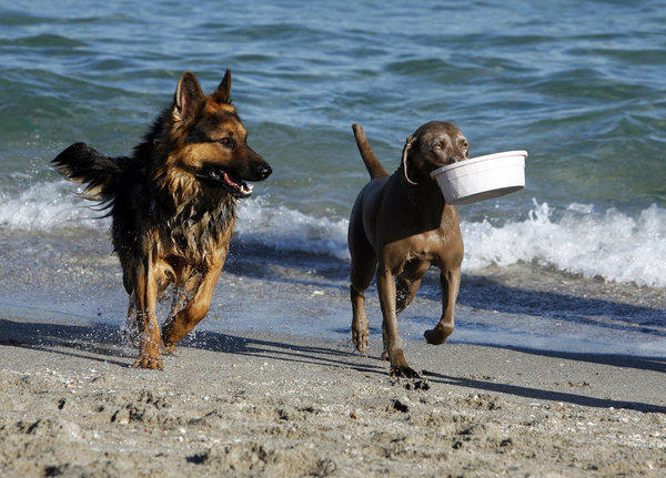Boca's dog beach has a date to open: Dec. 13. Dogs are seen here frolicking on Hollywood's dog beach.