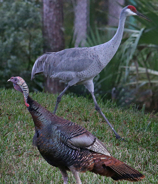 A wild Osceola turkey,also known as a Florida turkey ,foreground, and a Sandhill Crane strut together as they criscross paths Friday, November 22, 2013 in a subdivion off Markham Woods Road at Seminole County. This was an odd sight to see even though they do share a similiar range of habitat. I've been photogrpaing florida wildlife for a long time and had never seen this sight to behold.(Red Huber/Staff Photographer)