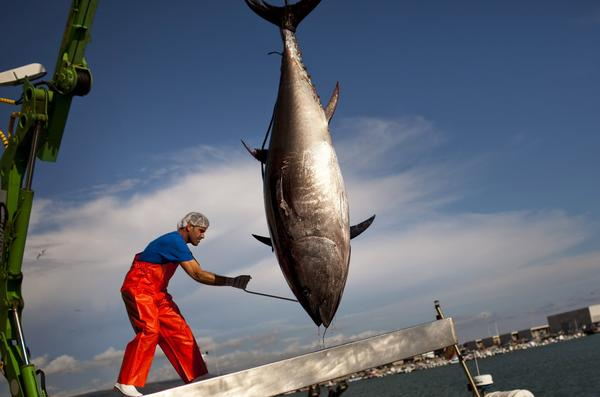 An Atlantic bluefin tuna is lifted by a crane during the opening of the season for tuna fishing in the port of Barbate, Cadiz province, Spain.