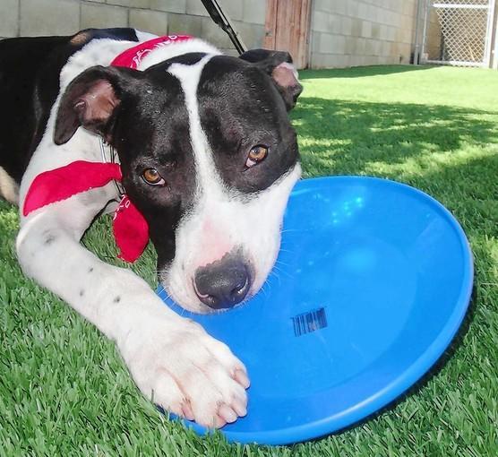 Wilson, a pointer terrier mix.