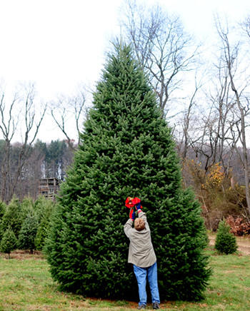 Crystal Spring Tree Farm near Lehighton will again provide this year's White House Christmas tree. Shown here is 2010 White House tree.