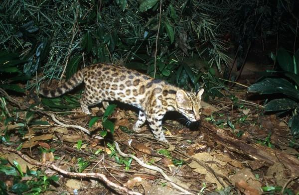 The tigrina, known as Leopardus tigrinus, may actually be two different species, Brazilian scientists say in Current Biology.