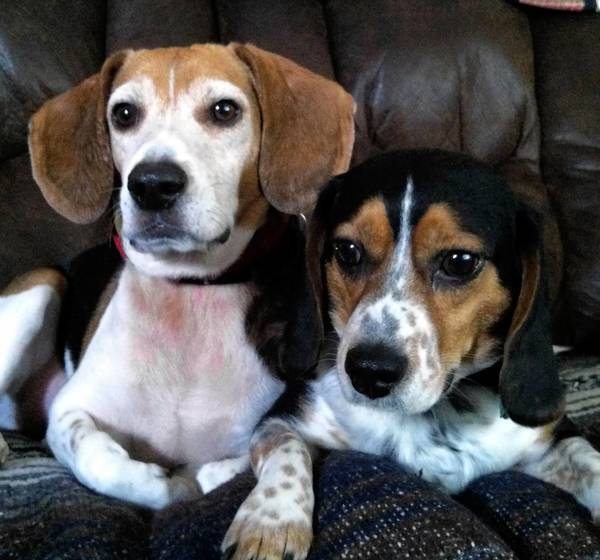 Leo and Odi, a beagle and beagle mix, are owned by Vic and Paula Werkheiser of Effort.