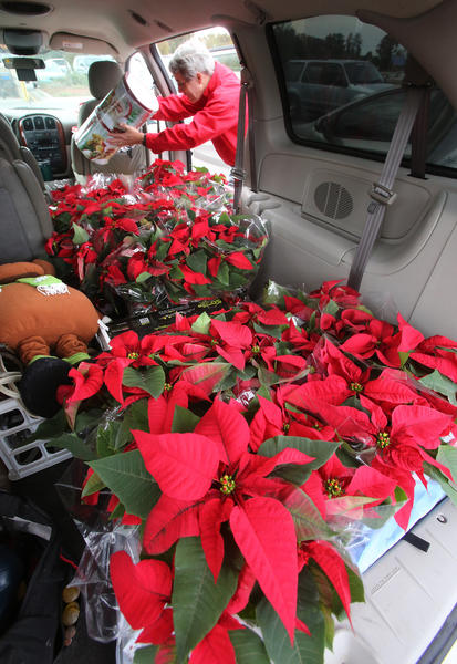 Jim Hurlburt fills his van with $1 poinsettia plants after finding the bargain at the Walmart at John Young Parkway and Princeton St. in Orlando, Friday, Nov. 29, 2013. (Joe Burbank/Orlando Sentinel) B583350239Z.1