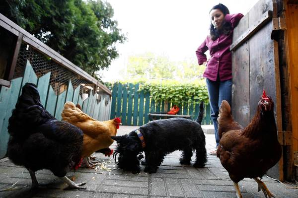 Libertyville rejected a plan to allow chickens in the village in a pilot program.
