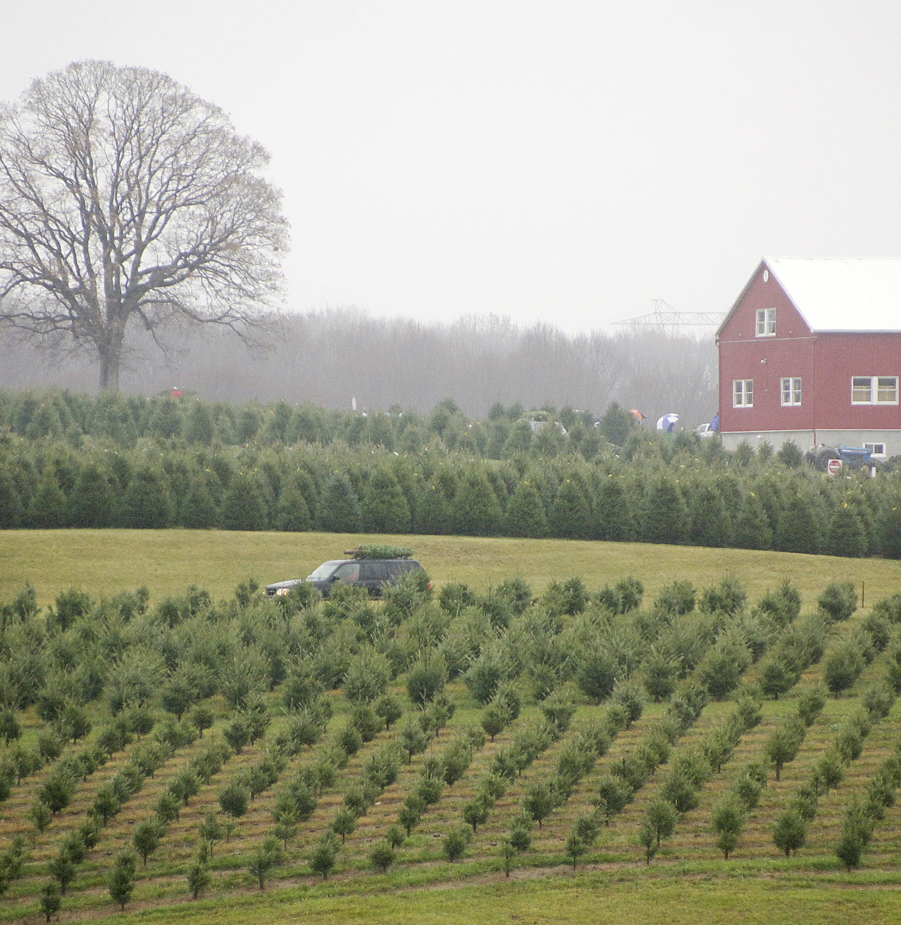 after thanksgiving many carroll families turn appetite to christmas trees baltimore sun - Middleburg Christmas Tree Farm